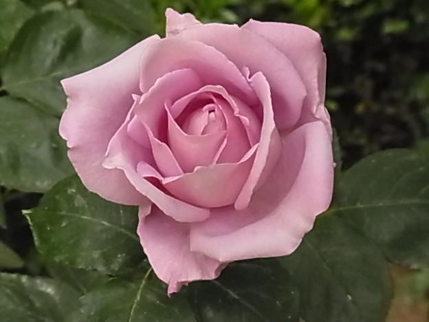 バラ ムーンライト 0517 017