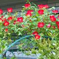 Photos: バラ つるバラ 赤 0430 701
