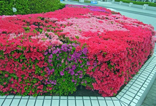 ツツジ 朱 赤紫 淡桃 0417 1