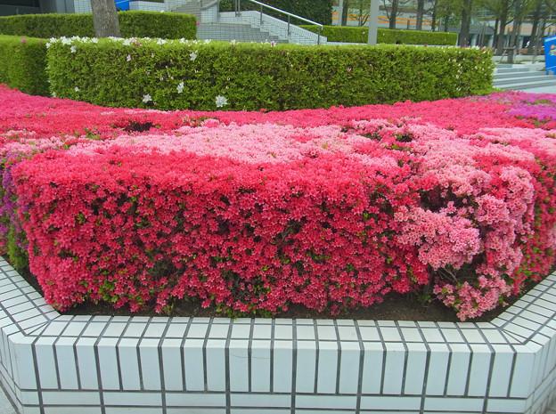 ツツジ 朱 赤紫 淡桃 0417 2