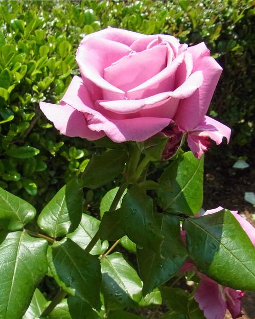 バラ 紫 ブルームーン フォト蔵  0511 695  ?