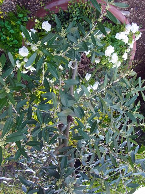 オリーブ 花 サフィニア ペチュニア 0514 700 ?