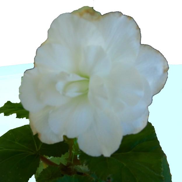 ベゴニア 球根ベゴニア 白 ググる 0517 742