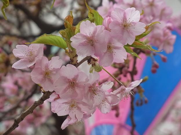 サクラ カワヅザクラ 0409 203