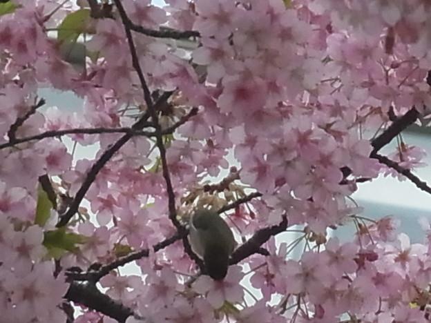 サクラ カワヅザクラ トリ  ウグイス 0409 626