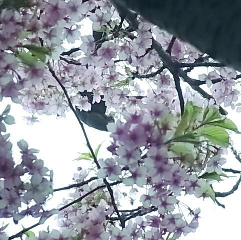 サクラ カワヅザクラ トリ ヒヨドリ 0409 618