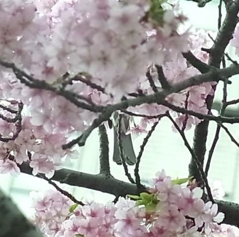 サクラ カワヅザクラ トリ ヒヨドリ 0409 620