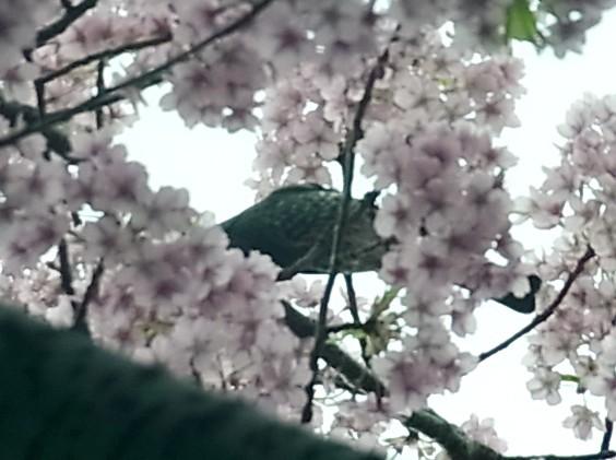 サクラ カワヅザクラ トリ ヒヨドリ 0409 621
