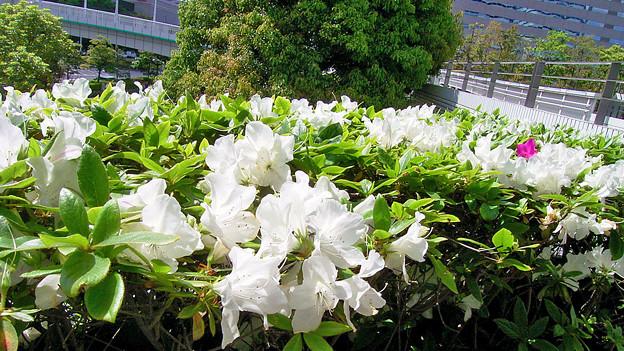 サツキ 白 花壇 ツツジ科 0513 126