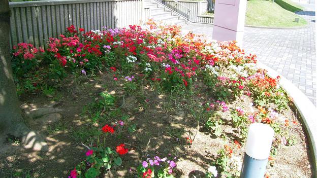 ゼラニウム フウロソウ科 花壇 0513 124