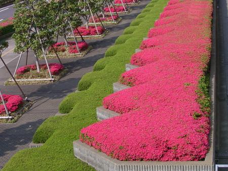 ツツジ 花壇 0430 065