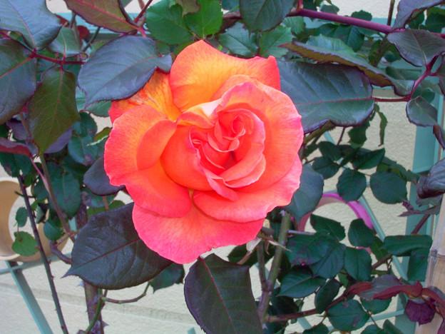 バラ 橙 0521 159