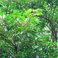 トウネズミモチ 実 モクセイ科 イボタノキ属 違い ググる 0622 051