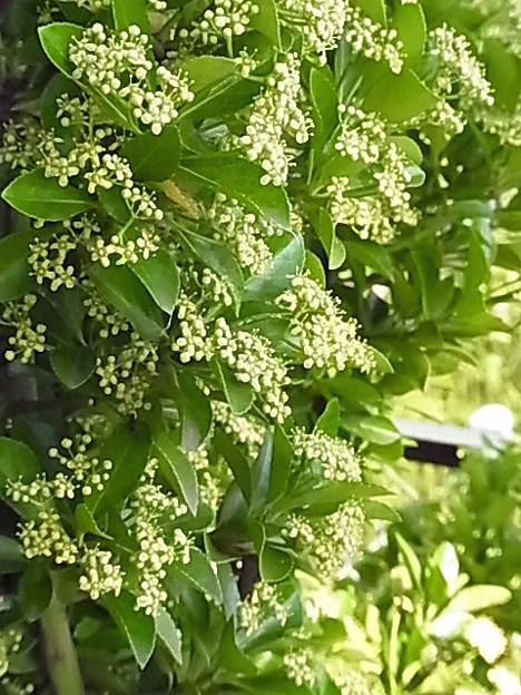 マサキ 花 ニシキギ科 0628 054