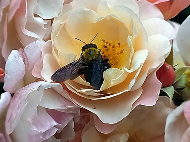 0603 バラ  ハチ ググる 違い 2