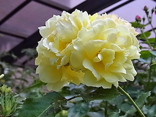 0603 バラ 黄 34