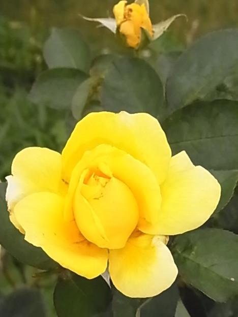 バラ 黄 0614 111