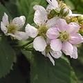 ブラックベリー 花 バラ科 キイチゴ属 0614 144