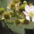 ブラックベリー 花 バラ科 キイチゴ属 0614 145