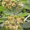 ブラックベリー 花 実 バラ科 キイチゴ属 0614 121