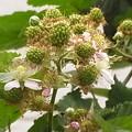 ブラックベリー 花 実 バラ科 キイチゴ属 0614 124