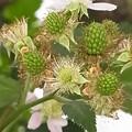 ブラックベリー 花 実 バラ科 キイチゴ属 0614 127