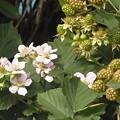 ブラックベリー 花 実 バラ科 キイチゴ属 0614 151