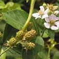 ブラックベリー 花 実 バラ科 キイチゴ属 0614 157