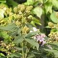 ブラックベリー 花 実 ハチ バラ科 キイチゴ属 0614 147