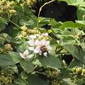 ブラックベリー 花 実 ハチ バラ科 キイチゴ属 0614 148