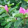 写真: シモクレン モクレン科 0709 二度咲き 011