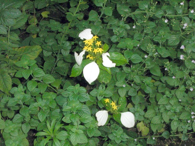 コンロンカ ハンカチの花 アカネ科 ググる 違い 0709 190
