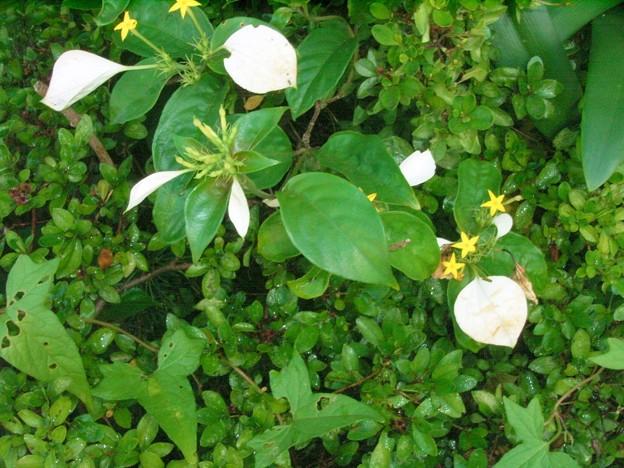 コンロンカ ハンカチの花 アカネ科 コンロンカ属 0715 046