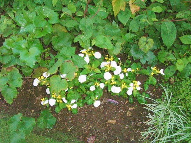 コンロンカ ハンカチの花 アカネ科 コンロンカ属 0715 056