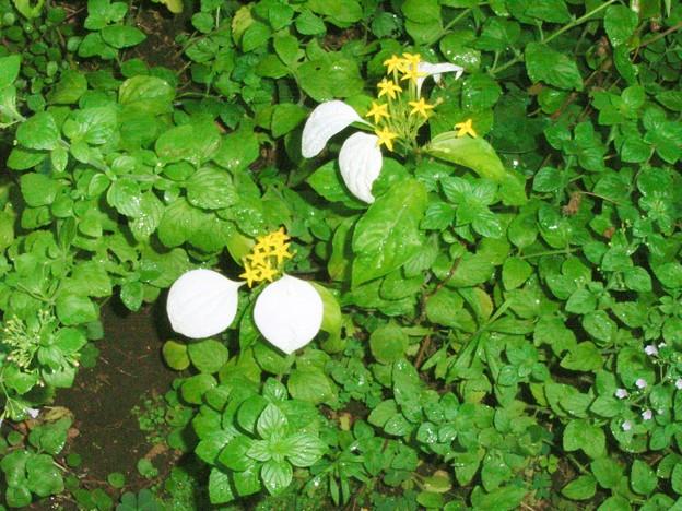 コンロンカ ハンカチの花 アカネ科 コンロンカ属 0715 057