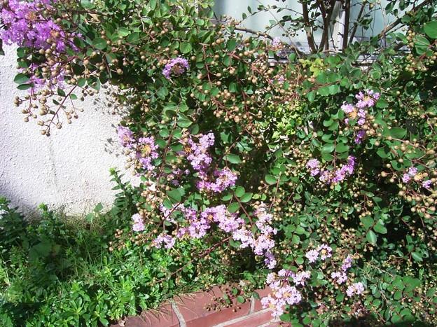 サルスベリ イッサイサルスベリ 矮性 ミソハギ科 サルスベリ属 0715 008