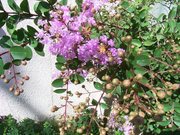 サルスベリ イッサイサルスベリ 矮性 ミソハギ科 サルスベリ属 0715 010