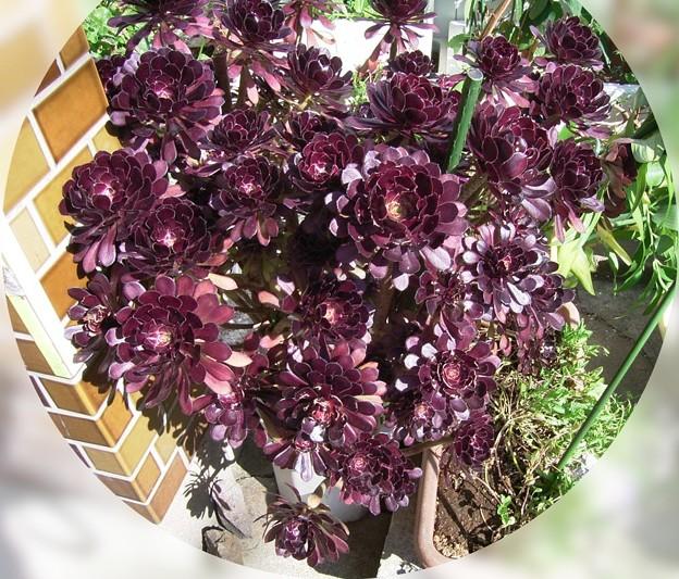 アエオニウム 多肉植物 ベンケイソウ科 黒法師 0715 037