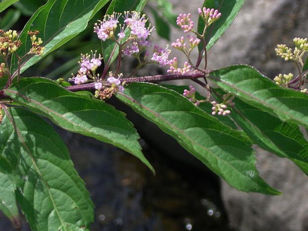 コムラサキ クマツヅラ科 ムラサキシキブ属 0719 059