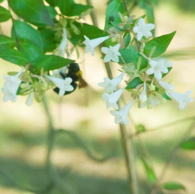 ハナゾノツクバネウツギ ハチ 0709 023