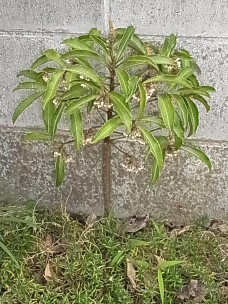 マンリョウ 花 センリョウ科 0725 091