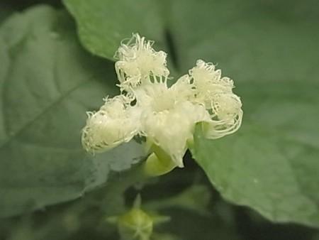 カラスウリ ウリ科 カラスウリ属 花 0729 032