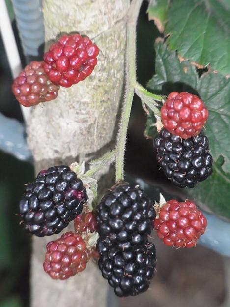 0723 ブラックベリー バラ科 キチゴ属 1