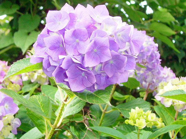 0605 アジサイ 紫 145_edited-1