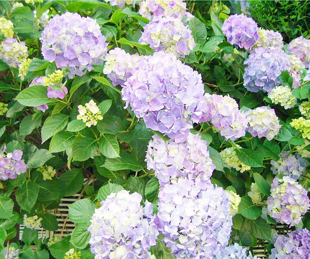 0605 アジサイ 紫 146