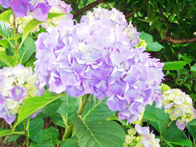 0605 アジサイ 紫 147