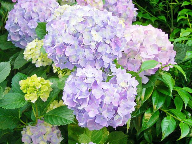0605 アジサイ 紫 148