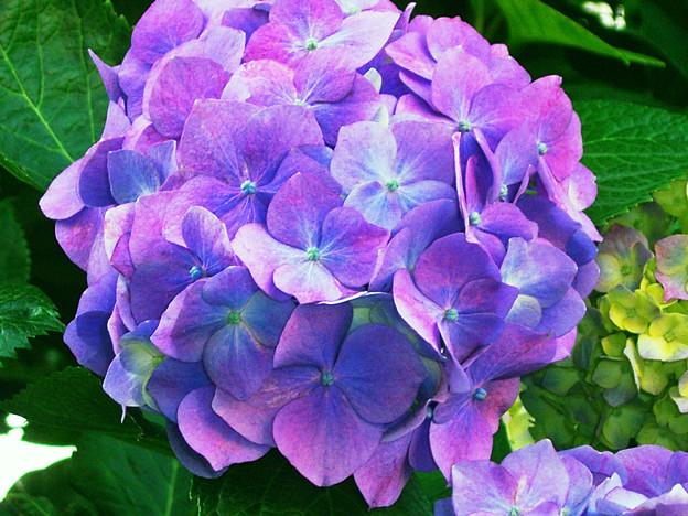 0605 アジサイ 紫 152