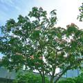 Photos: 0617 ネムノキ マメ科 088