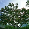 Photos: 0617 ネムノキ マメ科 089
